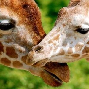 exhibit-headers_giraffes